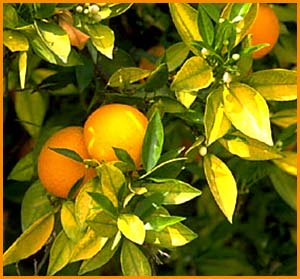 Inspiration quotes about success: Photo of orange tree.