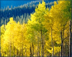 Birch trees in autumn with yellow leaves.