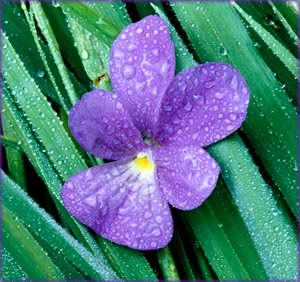 Inspirational life quotes: Purple flower and green leaves with rain drops.