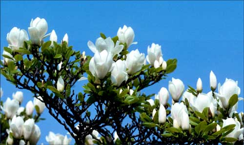White flowers on a clear blue sky!
