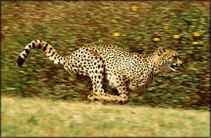 Motivational quotes: Cheeta running at full speed.