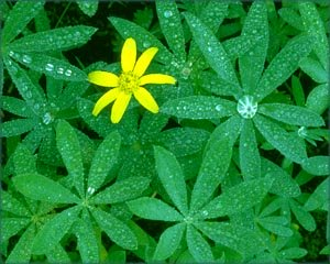 Being unique: Lonely yellow flower among green leaves.