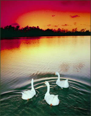 Beautiful photo mugs with landscapes: Photo of 3 swans on a lake in the sunset.