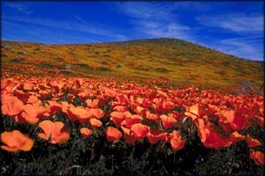 Big field of red poppies and blue sky.