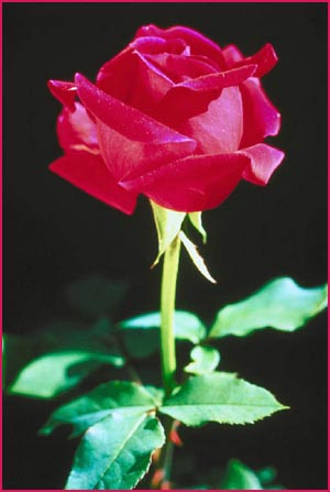 Short Love Quotes: picture of a red rose with stalk on a black background.