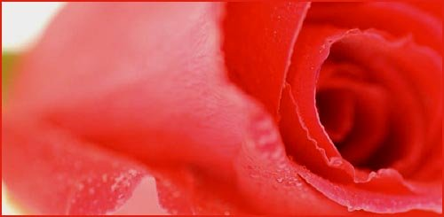 Close up picture of red rose.