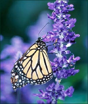 Thank you quotes: Yellow white butterfly sitting on purple flower.