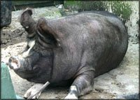 Funny unusual gifts: Animal scale: Picture of big pig.