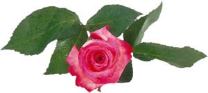 Valentines Day ideas for flowers: Photo of pink rose.