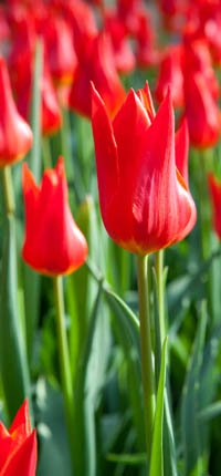 Lots of red tulips.