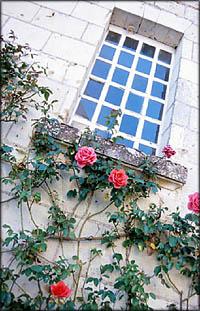 A climbing rose bush under window.
