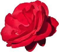 Symbolism of a red Valentine rose.
