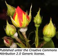 The symbolism of rose buds.