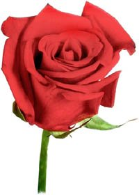 Photo of a single red rose.