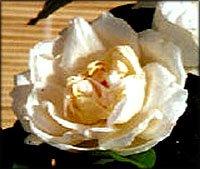White rose symbolism.