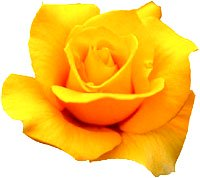 Yellow rose symbolism.